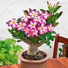 Desert Rose Plant (Adenium obesum) - Pink Color - Bonsai