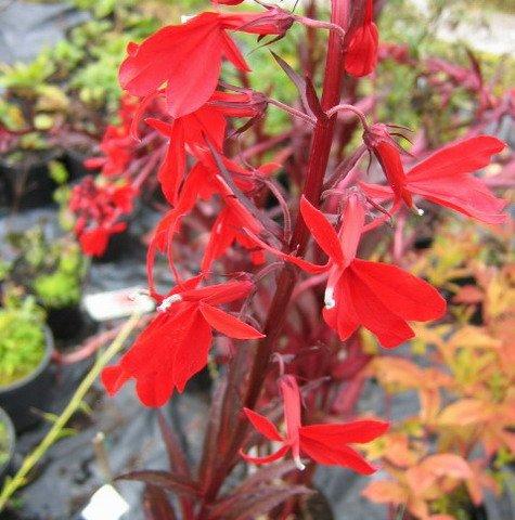 Rote Wasserlobelie / Lobelia fulgens Queen Victoria im 9×9 cm Topf - 3