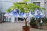 100 pc/bag Brugmansia semi Datura, Brugmansia nano Angelo Trombe bonsai semi di fiori, rara pianta in vaso per la casa giardino 15