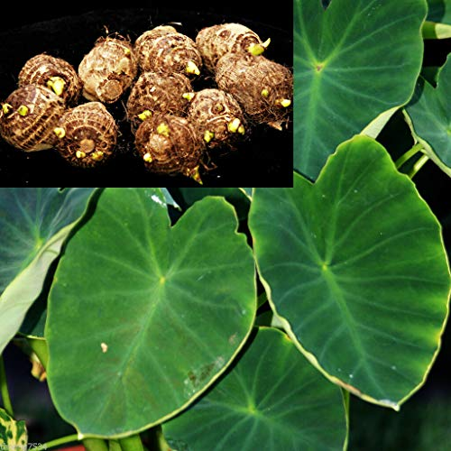 Ferry 10 ZWERG Green Taro Bulbs Roots KOI BOG TEICH Tropische Pflanze Edible