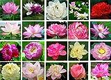semi di loto bonsai, 30pcs semi di piante di fiori di ninfee, cortile ornamentale migliori colori misti vitali caratteristiche acquatiche semi, giardino domestico arredamento fattoria stagno