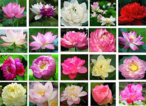 Bonsai Lotus Samen, 30 Stück Seerose Blütenpflanzensamen, Zierhof Feinste lebensfähige Mischfarben Aquatische Wasserspiele Samen, Hausgarten Hof Farm Teich Dekor