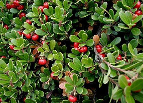 Bio-Saatgut Nicht nur Pflanzen: 1.440 Seeds: Bär, Echte Bärentraube, Samen (Edible, Hardy Evergreen Bodendecker) mit der Faehre