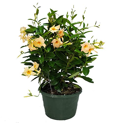 """Mandevilla Plant Hanging Basket – Apricot – 12"""" Basket – Overall Size 14″ Wide by 18″ Tall – Tropical Plants of Florida (Plant Only)"""