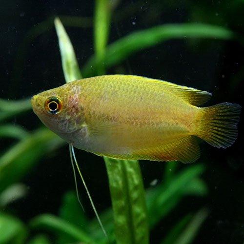 (熱帯魚)ゴールデンハニードワーフグラミー(約4cm)<3匹>[生体]
