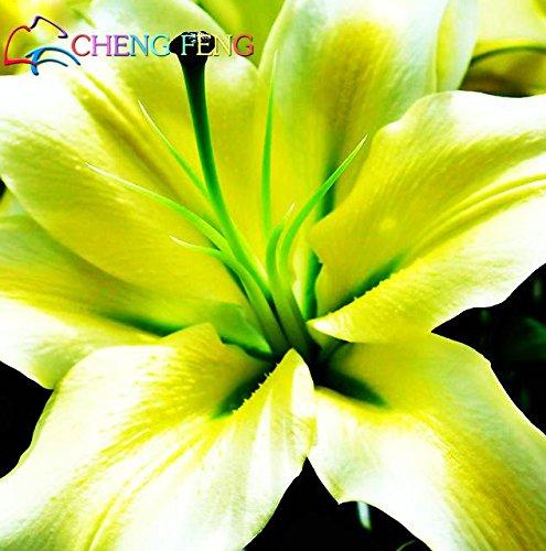 FERRY HOCH KEIMUNG Seeds Nicht NUR Pflanzen: Stargazer Lilien für das Jahr 2016, in der Nähe des Gartens Bench.The lilys in Hochzeit Bouquet 100pcs /: Schwarz