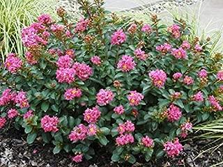 Pocomoke (Dwarf) Pink Crape Myrtle - Live Plant - 3 Gallon Pot