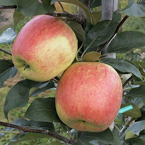 Müllers Grüner Garten Shop Delbarestivale Delcorf Sommerapfel Apfel Buschbaum wurzelnackt 120-150 cm M7