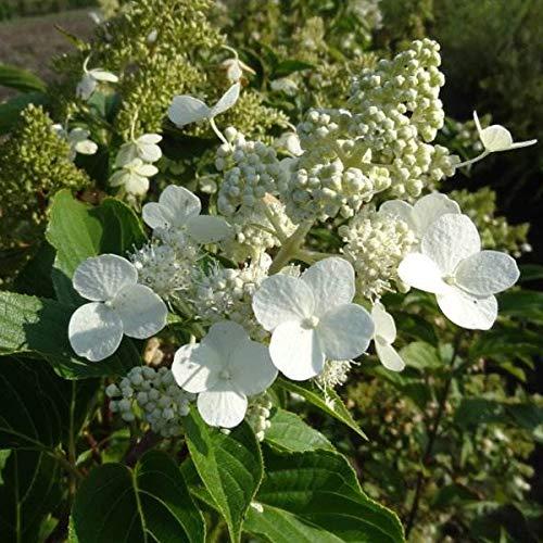 Hydrangea Paniculata 'Kyushu' - Rispenhortensie 40-50 cm Pflanzcontainer