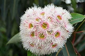 eucalyptus seeds for sale australia