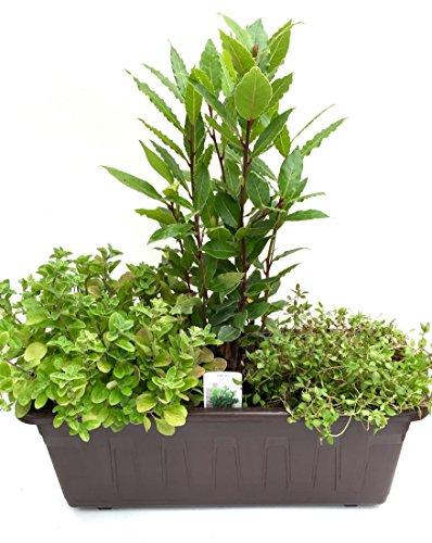 Kräuterkasten Mediterran, (40cm in Grau) incl. je 1 Kräuter Pflanze Lorbeer, Thymian und Oregano