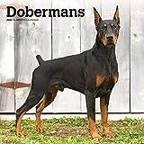 Dobermans - Dobermänner 2020 - 16-Monatskalender mit freier DogDays-App: Original BrownTrout-Kalender [Mehrsprachig] [Kalender] (Wall-Kalender)