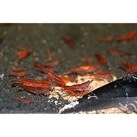 Zierfischtreff 5x Red Cherry Garnelen Neocaridina davidi