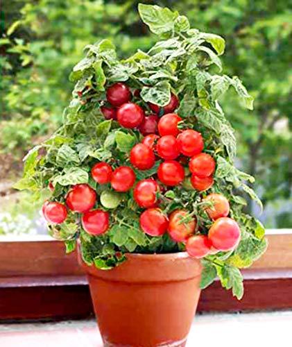 """ミニトマト苗 すずなりドワーフトマト""""プリティーベル""""(矮性ミニトマト)【野菜苗 自根苗 9cmポット/2個セット】まるで花が咲くようにたわわに実をつけます。トマト専門育種家が手塩にかけて、美味しさ・実の大きさ・甘み・見た目の美しさにこだわって開発した自信作!! 背丈約40cm程度と非常にコンパクト。鉢で簡単に栽培可能!!あとは水と肥料だけ!!長い支柱不要!!わき芽かき不要!!自社農場から新鮮直送!!(生き物ですので、背丈や実の数・大きさなどは生育環境により変わります)【即出荷】"""