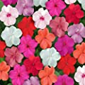 Outsidepride Impatiens Clear Mix Seeds