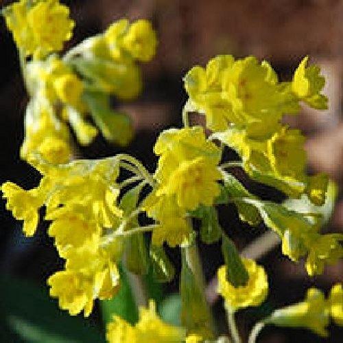 Il vous suffit de graines de fleurs???Primula Veris???Tuyau flexible en Primev?re???20?graines