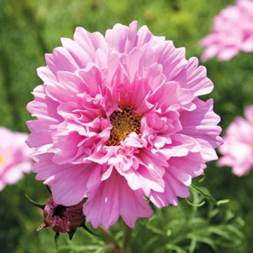 100pcs Rare Double Cosmos Graines de fleurs vivaces plantes à fleurs en pot pour jardin Cour Plantes décoratives 2