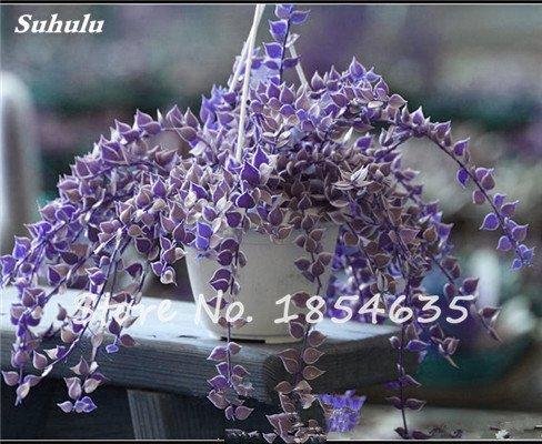 Rare Bonsai Fleur Graine jardin aérobie pot purifiant Air, décorations pour soirée de mariage ou cadeau d'anniversaire 30 Pcs 13