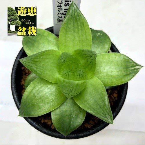 多肉植物:ハオルチア シンビフォルミス系*幅7cm