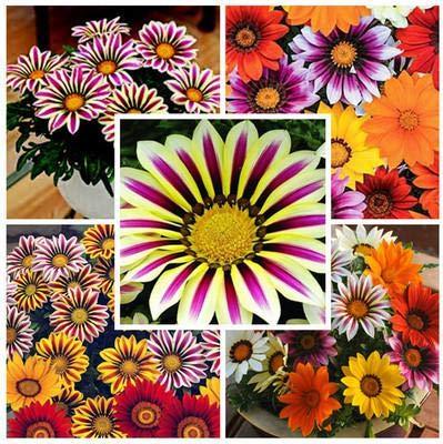 Kalash New 50pcs Gazania Blumensamen für Garten Mixed