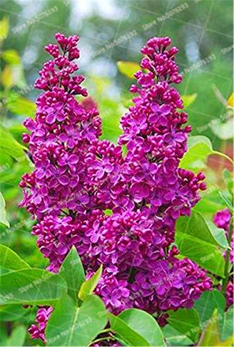 HONIC 100Pc Bonsai Lilac Bonsai Pflanze Lilac (Extremely Fragrant) Nelke Blume Bonsai Flieder Bäume Außenanlage für Hausgarten: 2