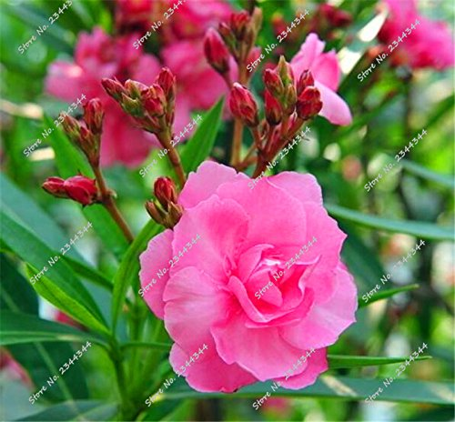 130pcs/bag rares Oleander Graines Multicolor Blooming Tropical Bonsai Fleur Arbre en pot pour plantes d'ornement Décor de jardin