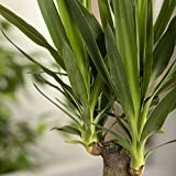 Pflanzen Kölle Palmlilie 'Yucca Elephantipes', herrliche Raumpflanze, Topf 17 cm, Höhe ca. 80 cm - 5