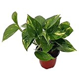Golden Devil's Ivy - Pothos - Epipremnum - 4' Pot - Very Easy to Grow Live Plant Ornament Decor for Home, Kitchen, Office, Table, Desk - Attracts Zen, Luck, Good Fortune - Non-GMO, Grown in the USA