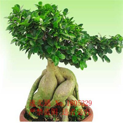 Big promotion 50pcs véritables rares graines Ficus Ginseng graines Ginseng Herbes Banyan graines d'arbres Livraison gratuite