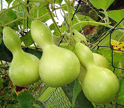 Zier-Kürbis - Kalebassen-Kürbis Birdhouse - Flaschenkürbis - 5 Samen