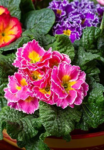 Garten-Aurikel 50 Samen,Primula x pubescens- mehrjährige