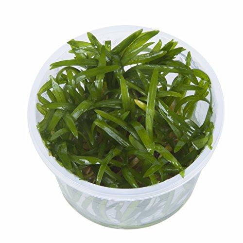 Tropica Sagittaria subulata 1–2-grow Tissue Culture in vitro planta para Acuario Camarón Safe & Caracol libre