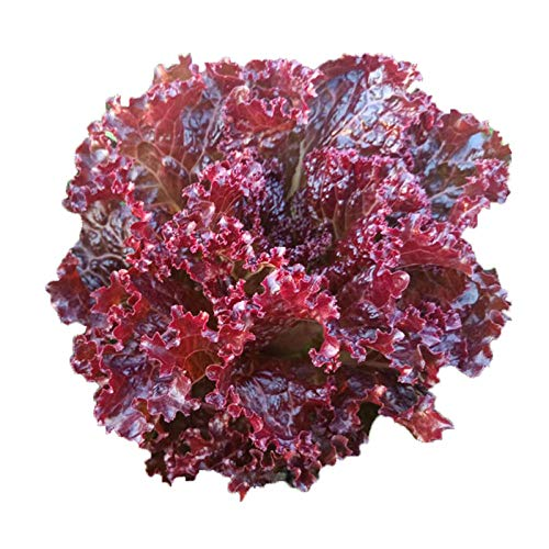 Semillas de lechuga de arce rojo semillas de hortalizas de lechuga morada 300 granos