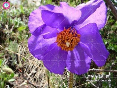 100pcs rouge de fleur de pavot graines Bonsai. Rare Papaver ORIENTALE graines en pot pour jardin maison décorée planting.semillas de flores 5
