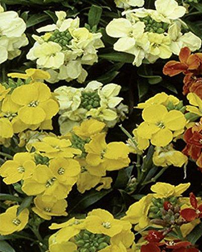 Goldlack Einfacher Prachtmischung Höhe 50 cm Samen