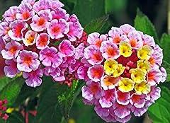 Plant Habit:Flowering Sunlight:Full Shade.Aspect:West-facing USDA Hardiness Zone (¡ãF):1 (< -50 ¡ãF)£¬ 2 (-50 to -40 ¡ãF)£¬ 3 (-40 to -30 ¡ãF)£¬ 4 (-30 to -20 ¡ãF)£¬ 5 (-20 to -10 ¡ãF)£¬ 6 (-10 to 0 ¡ãF)£¬ 7 (0 to 10 ¡ãF)£¬ 8 (10 to 20 ¡ãF)£¬ 9 (20 t...