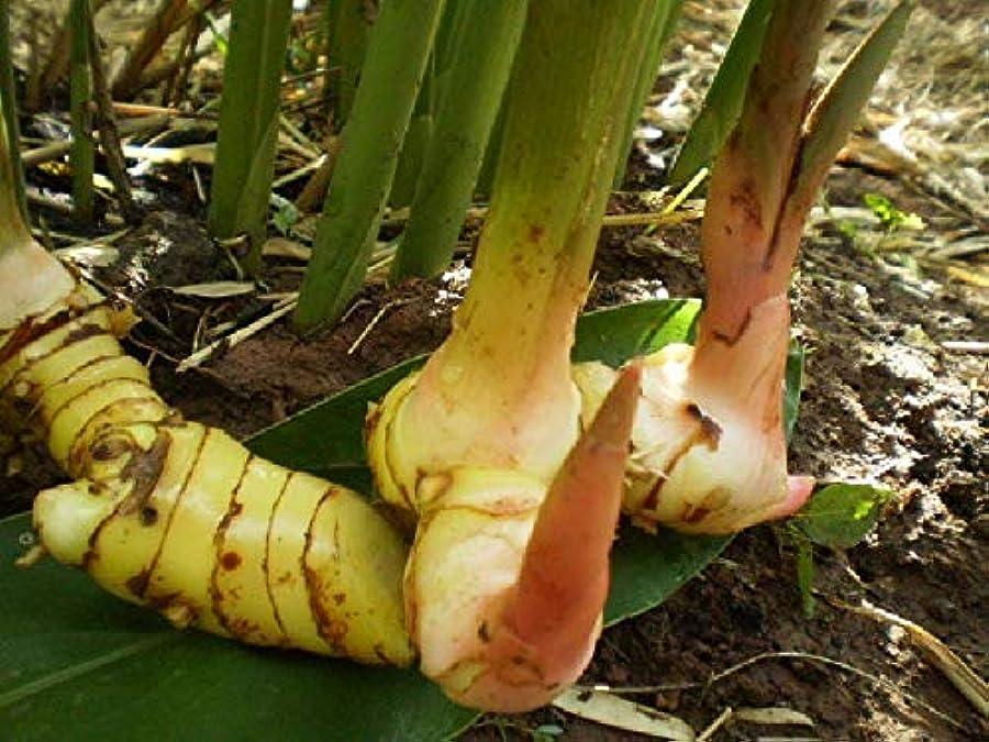 優勢旋回高価な種子パッケージ:新! 1ガランガルの根茎FRESHアルピニアGALANGA THAIHEIRLOOM