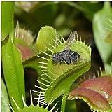 las semillas de plantas en maceta Venus Fly Trap Semillas, Dionaea, la decoración del jardín de la planta de la planta carnívora Bonsai 30 PCS