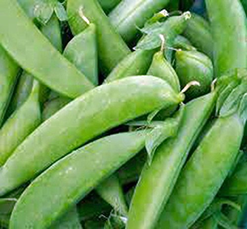 Pea Seed, Sugar Snap Pea, Heirloom, Organic, Non GMO, 20 Seeds, Perfect Peas