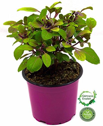 Strauchbasilikum, Strauch Basilikum Pflanze, Das Original African Blue !