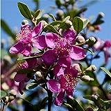 honic foresta fiore frutta bonsai bonsai sono state recentemente adottate autentici 20pcs mirto (tao jin niang)