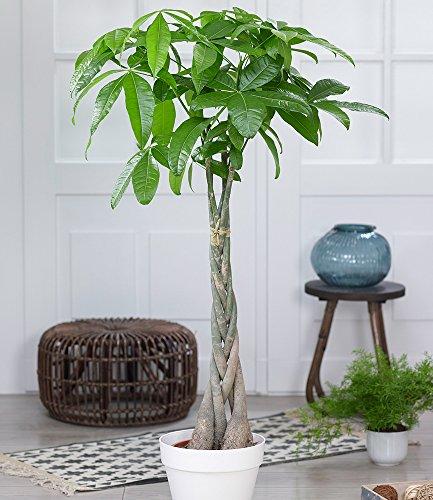 BALDUR-Garten Pachira Aquatica ca. 100 cm hoch, 1 Pflanze Glückskastanie Zimmerpflanze Zimmerpflanze