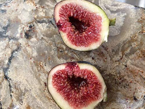 FERRY Bio-Saatgut Nicht nur Pflanzen: Madeira Seed - 100 samen