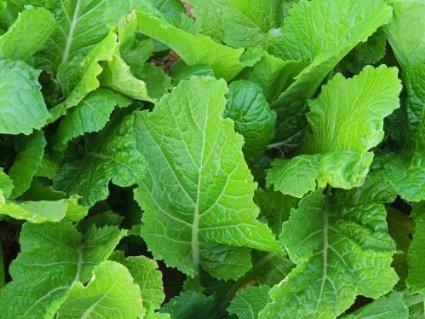 Mustard Florida Broadleaf Great Garden Vegetable Heirloom Seeds by Seed Kingdom...