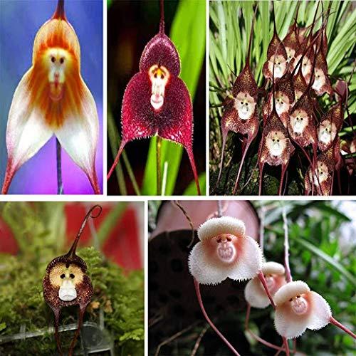 Alick 10 mischen Affengesicht Orchidee Blumensamen
