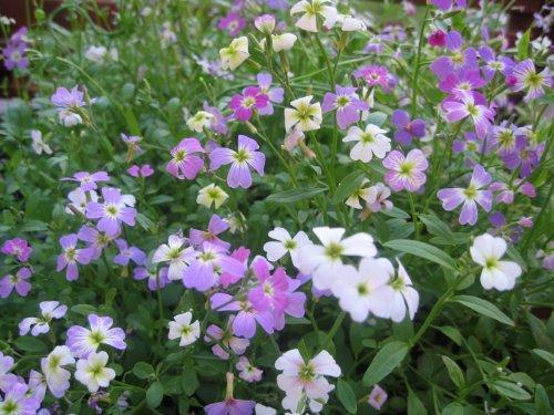 "Premier Seeds Direct VIR01F Garten Levkoje Samen ""Malcomia Maritima"" (Packung mit 1500)"