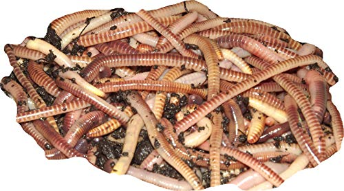 Yorkshire Worms TIGER Worms - Suitable for Composting, For Bait For Fishing...