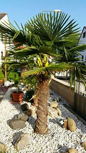 Moulin à vent Palmier Graines T31, Hardy Trachycarpus fortunei Evergreen