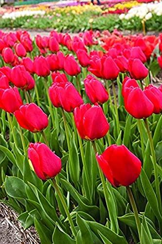 6 Pezzi Bella Tulipani Come Il Rosso Fiamme Bulbi Di Tulipano Rosso Fiore Perenne Giardino Cortile Balcone Della Decorazione Di Alta Tasso Di Sopravvivenza