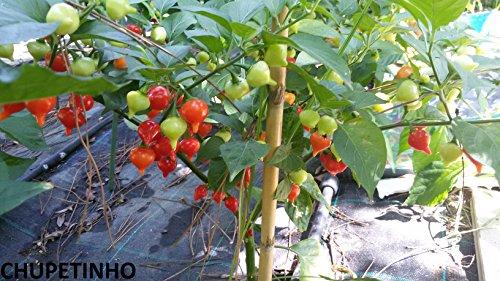 Chupentinho brasil-20 Semi-Rare ! 5-8 graines d'une variété de Piment-!!!